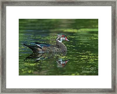 Framed Print featuring the photograph Aix Sponsa.. by Nina Stavlund