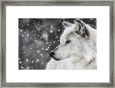 Akela The Wolf Framed Print