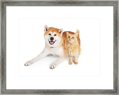 Akita Dog And Tabby Cat Over White Background Framed Print by Susan Schmitz