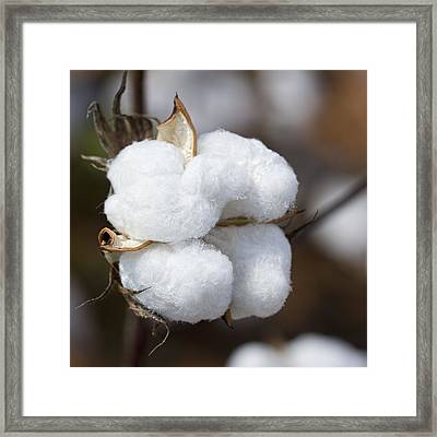 Alabama Cotton Boll Framed Print