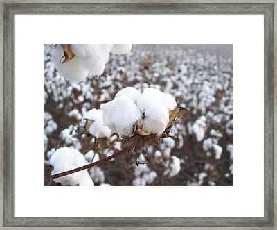 Alabama Cotton Bowl Framed Print by Paula Ferguson