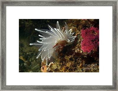 Alabaster Dirona Framed Print by Greg Amptman