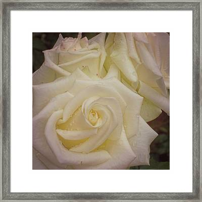 Alabaster Roses Framed Print by JAMART Photography
