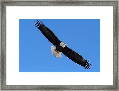 Alaska Bald Eagle Framed Print by Doug Lloyd