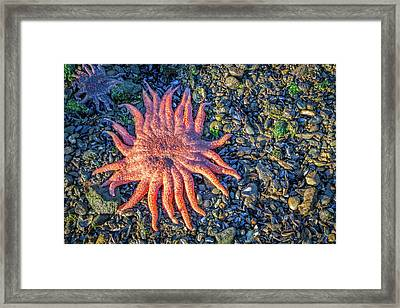 Alaska Starfish Framed Print by Wild Montana Images