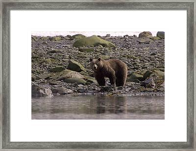 Alaskan Brown Bear Dining On Mollusks Framed Print