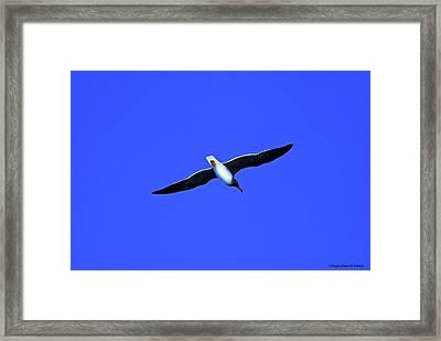 Albatros Framed Print by Chaza Abou El Khair