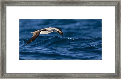 Albatross Of The Deep Blue Framed Print by Basie Van Zyl