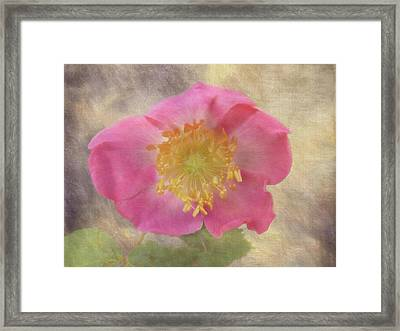 Alberta Rose - 365-143 Framed Print by Inge Riis McDonald