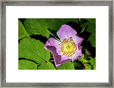 Framed Print featuring the photograph Alberta Wild Rose Opens For Early Sun by Darcy Michaelchuk