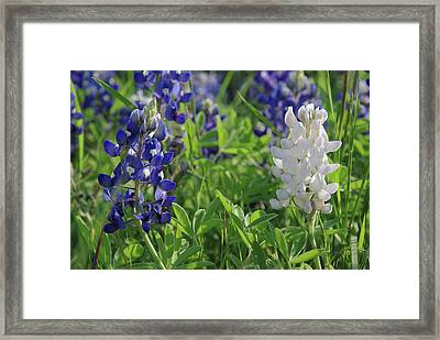 Albino And Blue Bluebonnet Framed Print by Robyn Stacey