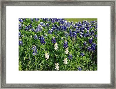 Albino And Bluebonnet Field Framed Print by Robyn Stacey