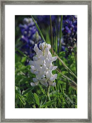 Albino Bluebonnet Framed Print by Robyn Stacey