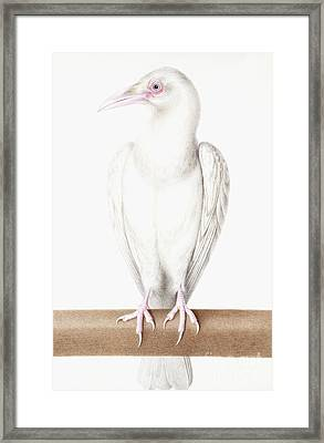 Albino Crow Framed Print by Nicolas Robert