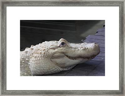 Albino Gator Framed Print