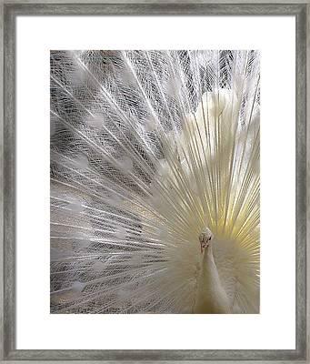 A Leucistic Peacock Framed Print