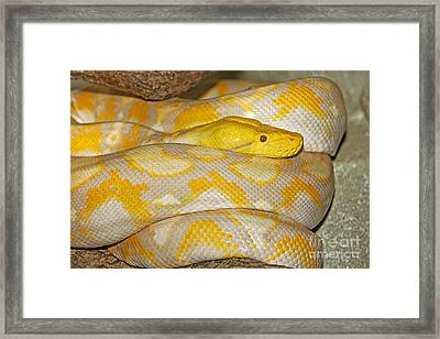 Albino Reticulated Python Framed Print by Gerard Lacz