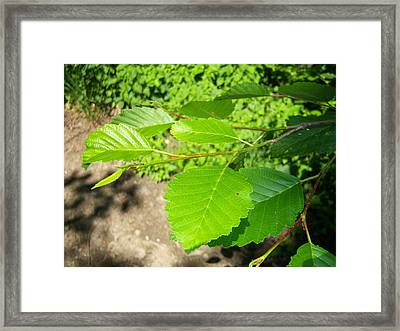 Alder Framed Print by Ken Day