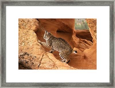 Alert Bobcat Framed Print by Larry Allan