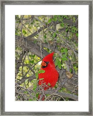 Alert Cardinal Framed Print