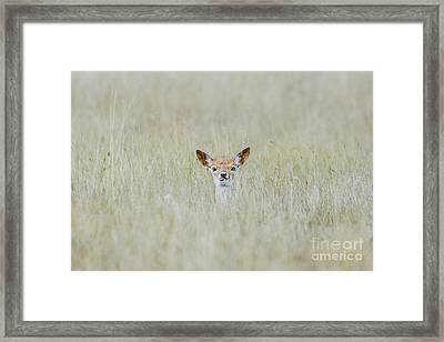 Framed Print featuring the photograph Alert Fallow Deer Fawn - Dama Dama - Laying Long In The Long Grass by Paul Farnfield
