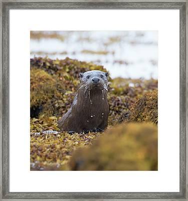 Alert Female Otter Framed Print