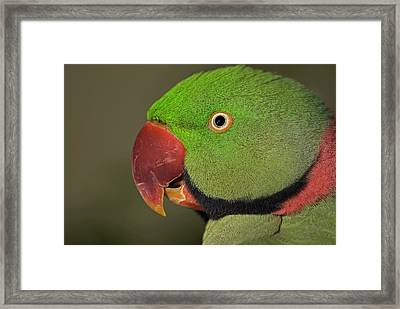 Framed Print featuring the photograph Alexandrine Parakeet by JT Lewis