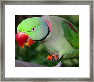 Alexandrine Parrot Feeding Framed Print by PIXELS  XPOSED Ralph A Ledergerber Photography