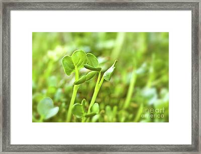 Alfafa Framed Print by Delphimages Photo Creations