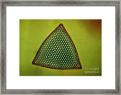 Algae, Diatom, Triceratium Ladus, Lm Framed Print by Eric Grave