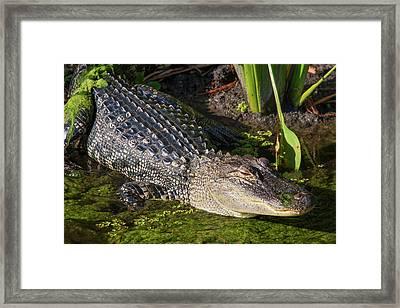 Algae Gator 2 Framed Print