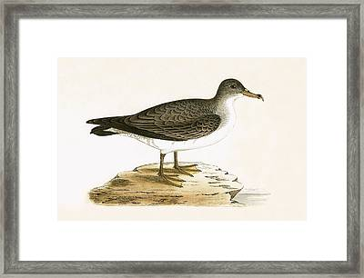 Algerian Cinereous Shearwater Framed Print by English School