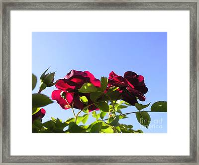 All About Roses And Blue Skies II Framed Print by Daniel Henning