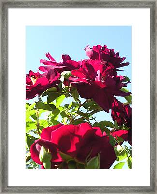 All About Roses And Blue Skies IIi Framed Print by Daniel Henning