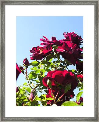 All About Roses And Blue Skies Ix Framed Print by Daniel Henning