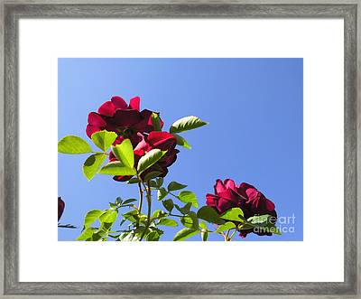 All About Roses And Blue Skies V Framed Print by Daniel Henning