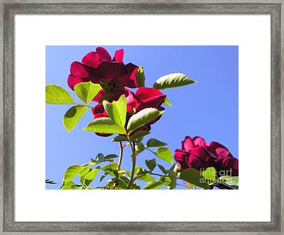 All About Roses And Blue Skies Vi Framed Print by Daniel Henning