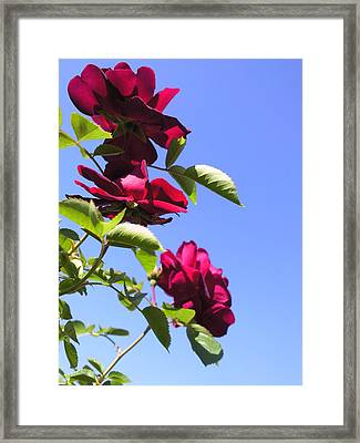 All About Roses And Blue Skies Vii Framed Print by Daniel Henning