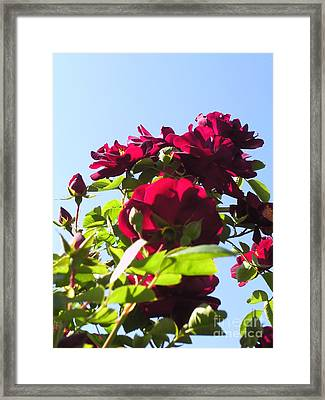 All About Roses And Blue Skies X Framed Print by Daniel Henning