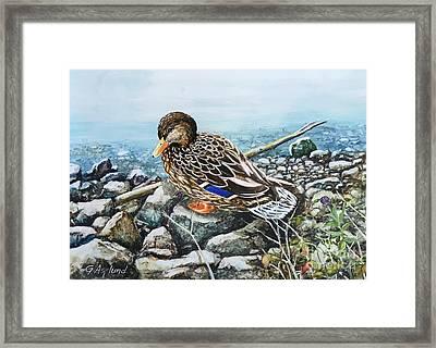 Resting Duck Framed Print