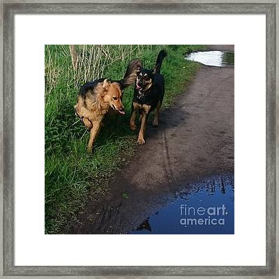 All Play And No Work! #dogs #gsd Framed Print