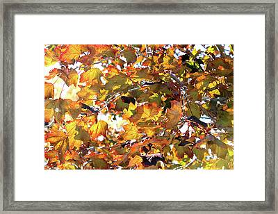 All The Leaves Are Red And Orange Fall Foliage With Sunshine Framed Print
