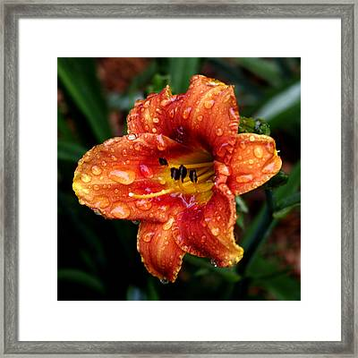All Wet Lily Framed Print by Paul Anderson