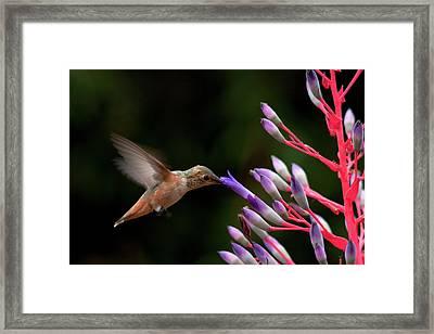 Allen's Hummingbird At Breakfast Framed Print by Mike Herdering