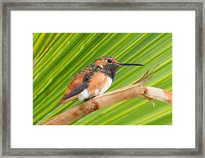 Allen's Hummingbird On Palm Tree Framed Print