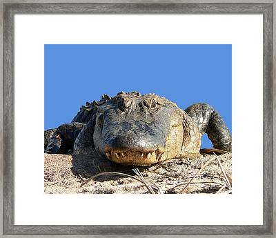 Framed Print featuring the photograph Alligator Approach .png by Al Powell Photography USA