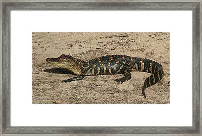 Alligator Baby Framed Print