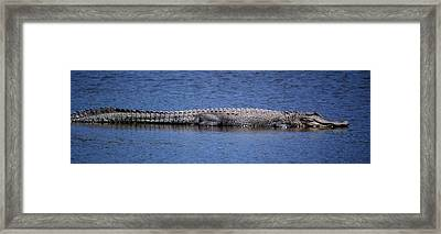Alligator Basking Framed Print by Bruce W Krucke