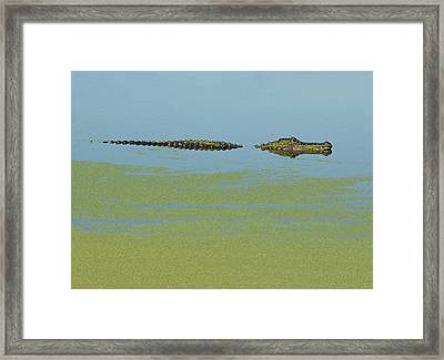 Framed Print featuring the photograph Alligator  by Carolyn Dalessandro