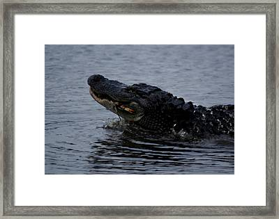 Alligator Eating A Crab Framed Print by Bruce W Krucke